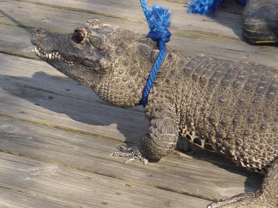 African Dwarf Crocodil...