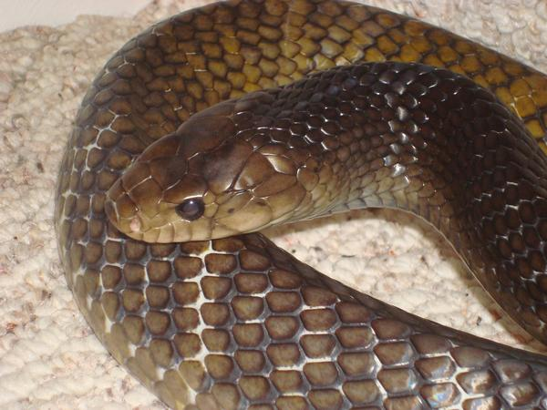 Yellowtail Cribo, uploaded by kingsnake.com user Paul Bodnar