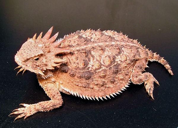 Horned Lizard, uploaded by kingsnake.com user ninetynine