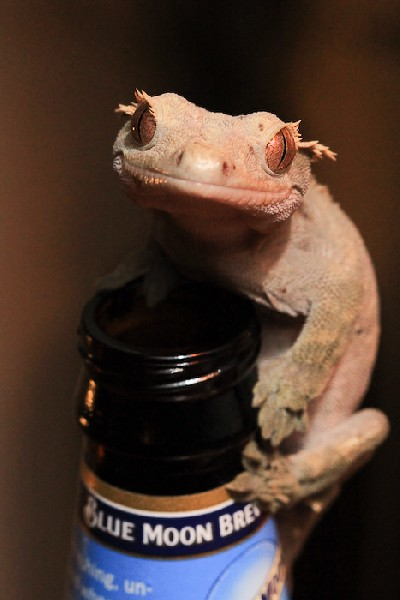 Crested Gecko, uploaded by kingsnake.com user BryanD