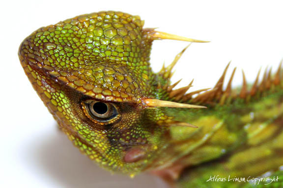 Malaysian Mountain Horned Dragon - Acanthosaura armata
