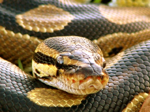 Photo: ball python