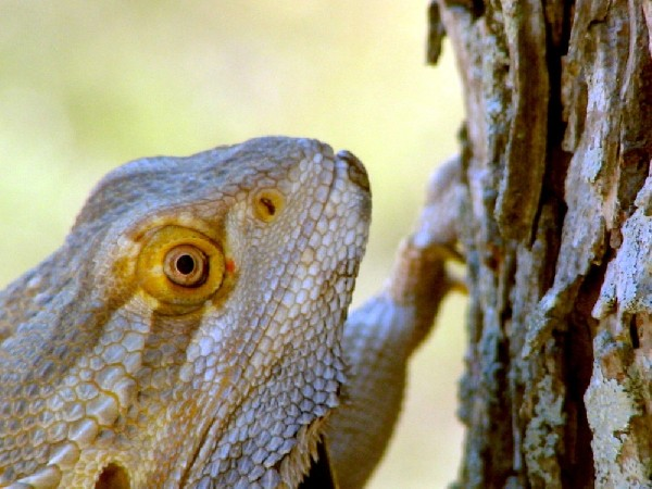 Photo: Bearded Dragon