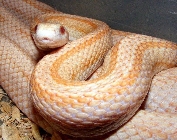 Cornsnake, uploaded by kingsnake.com user draybar