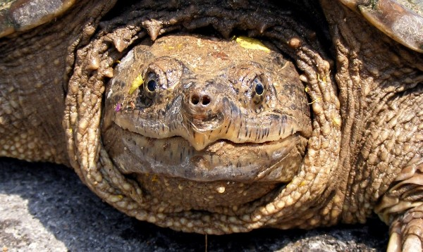 Snapping Turtle, uploaded by kingsnake.com user draybar