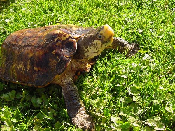 A Mad... Sulawesi Forest Turtle