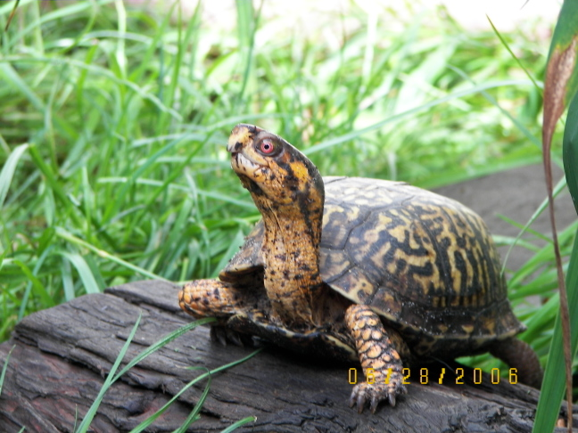 My Male Eastern Box Turtle