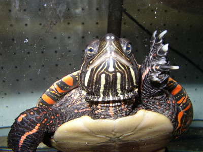 Photo: Painted Turtle