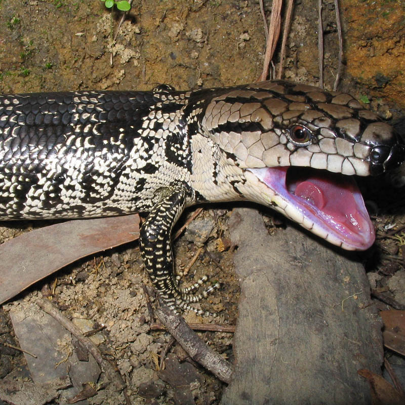 BLOGS: Pink Tongued Skink