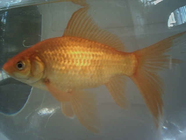 Fish of Gold: Goldfish, the basics