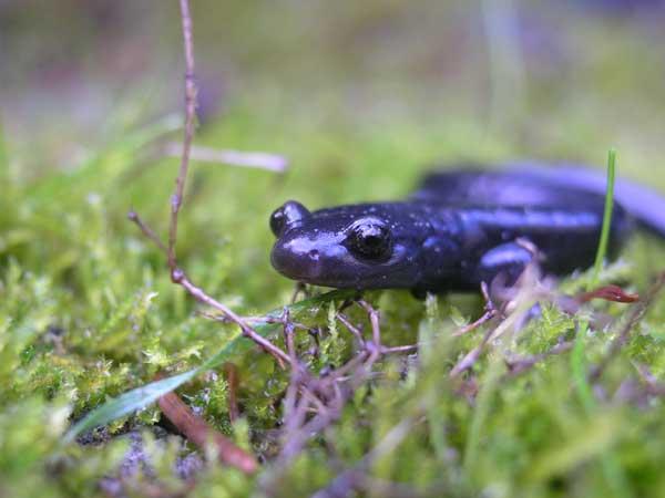 Black Salamander (Aneides flavipunctatus)