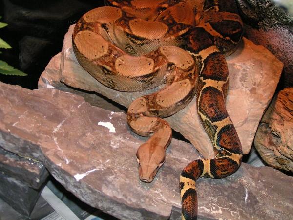 Photo: Boa constrictor