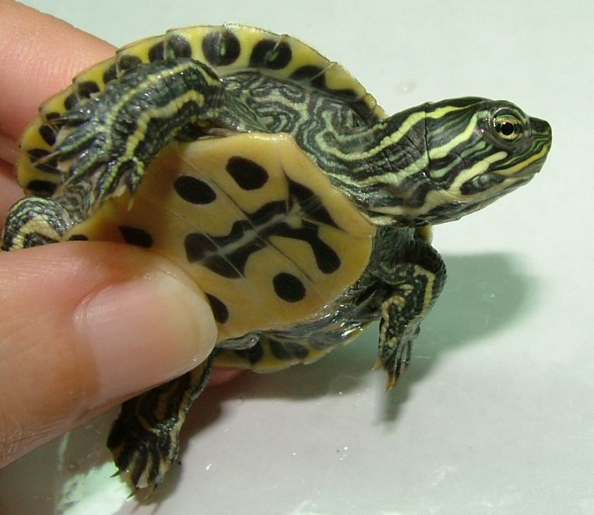 Pet+Water+Turtles+for+Sale Pet Water Turtles for Sale http://www ...