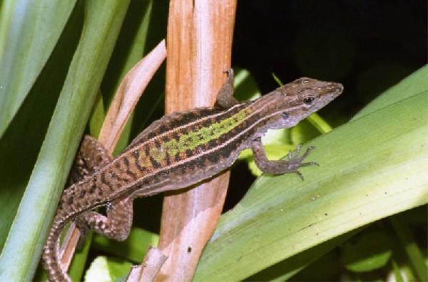 Kentropyx borckiana, uploaded by kingsnake.com user davemangham