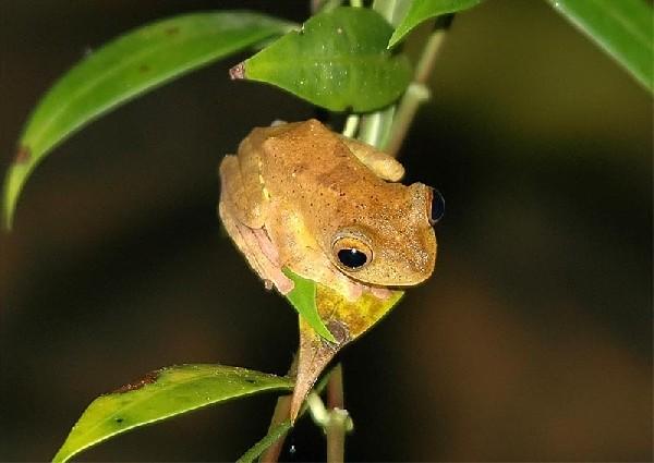 Frog, uploaded by kingsnake.com user davemangham