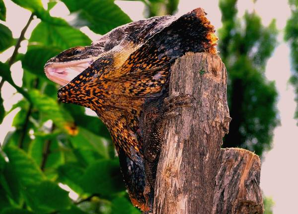 Frilled Lizard NT young male