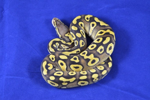 2012 Pastave Ball Python