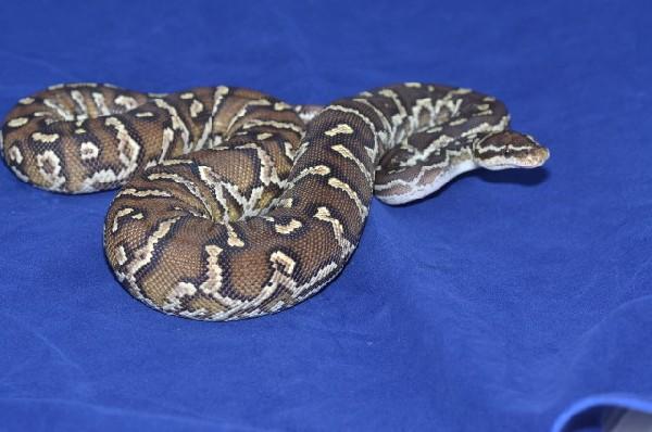 2012 Angolan Python