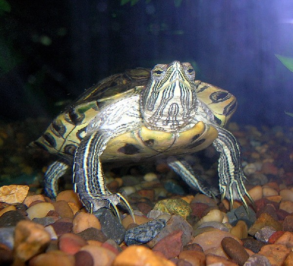 Red Eared Slider, uploaded by kingsnake.com user otis07