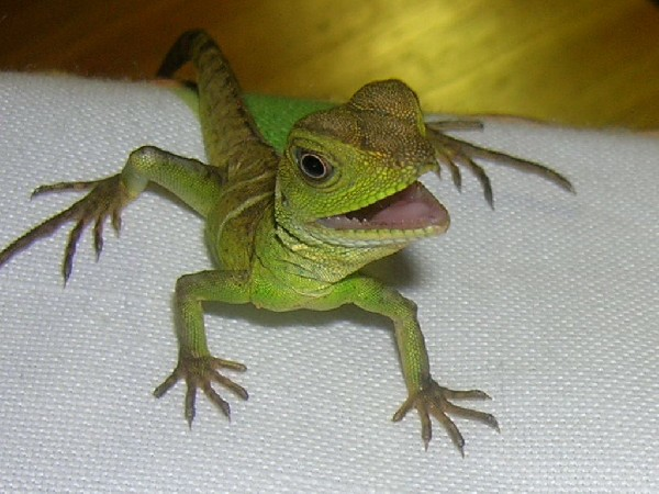 Herpforum re do water dragons have morphs for Water lizard fish