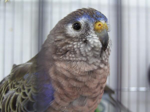 bourk's perakeet male