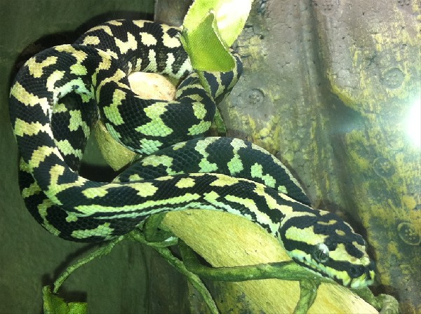 2010 Jungle Carpet Python Male